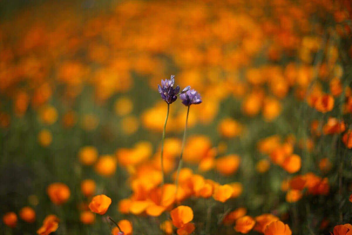 Массовое цветение в Лейк-Эльсинор, Калифорния