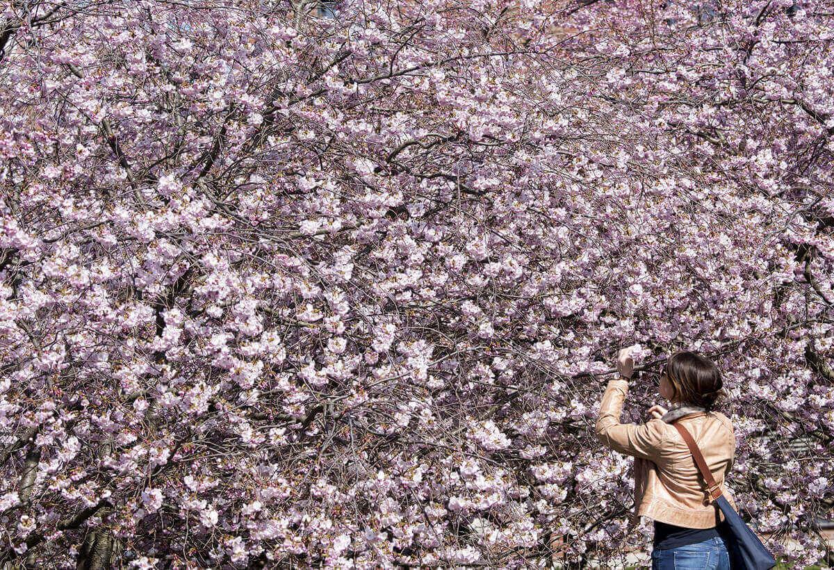 Женщина рассматривает цветущую вишню в Эрфурте, Германия