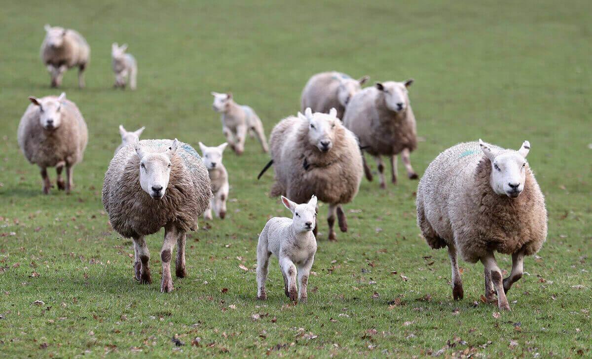 Выводок овец, семейная ферма в городке Брекон