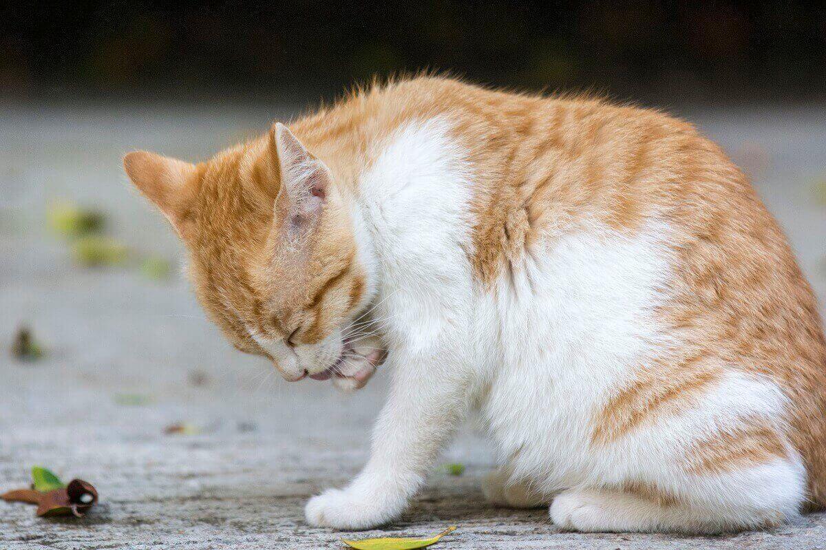 Вылизывание кошек
