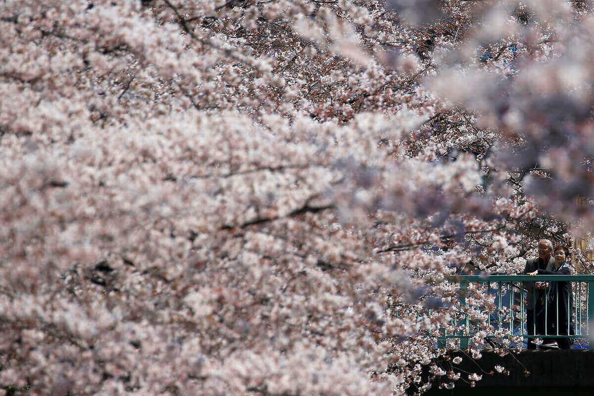 Цветение сакуры, Токио, Япония