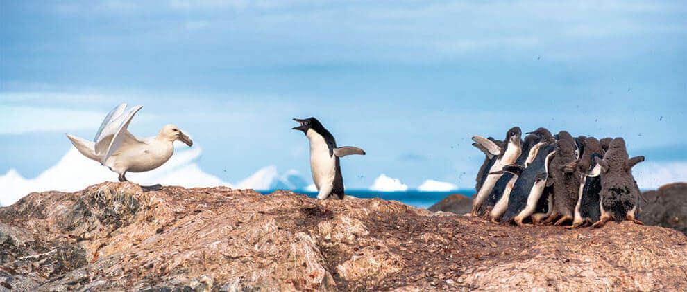 Пингвин Адели пытается отогнать гигантского буревестника