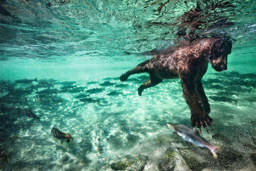 Медведь гризли ловит лосося под водой
