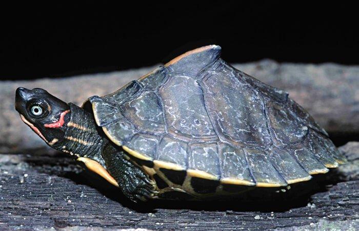 Ассамская кровельная черепаха