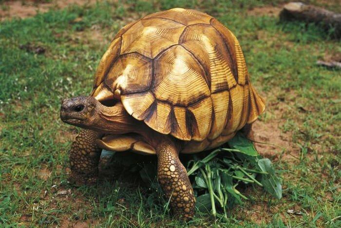 Мадагаскарская клювогрудая черепаха