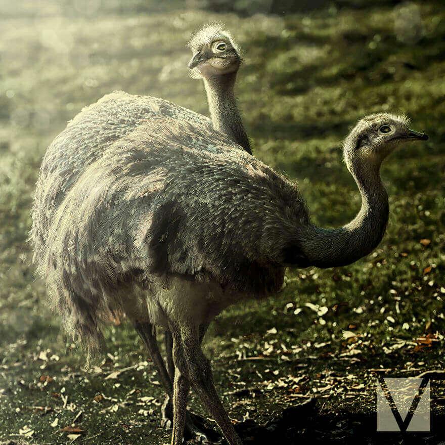Два страуса эму