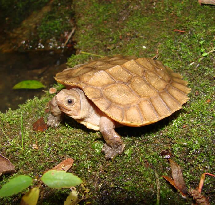 Лесная черепаха с Сулавеси