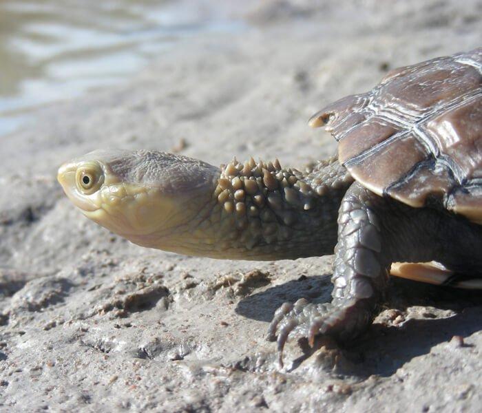 Болотная жабья черепаха