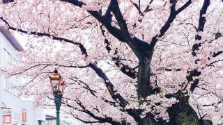 Цветение сакуры в Японии, Канадзава
