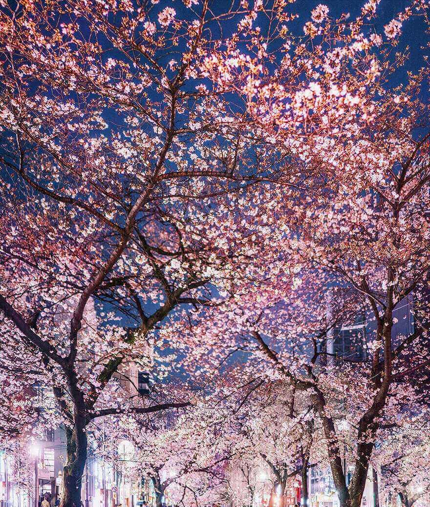 Цветение сакуры в Японии, Осака
