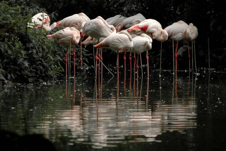 птица розовый фламинго, фото 10