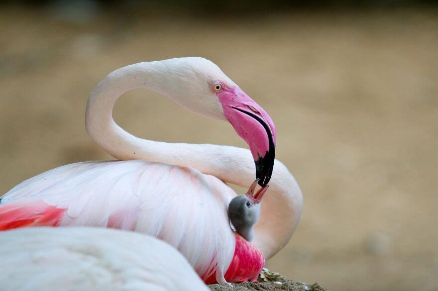 птица розовый фламинго, фото 12