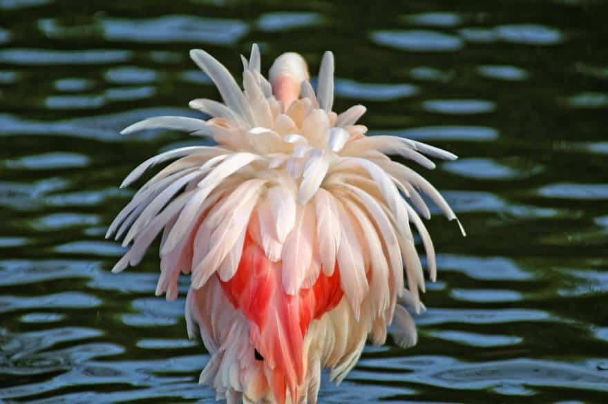 птица розовый фламинго, фото 13