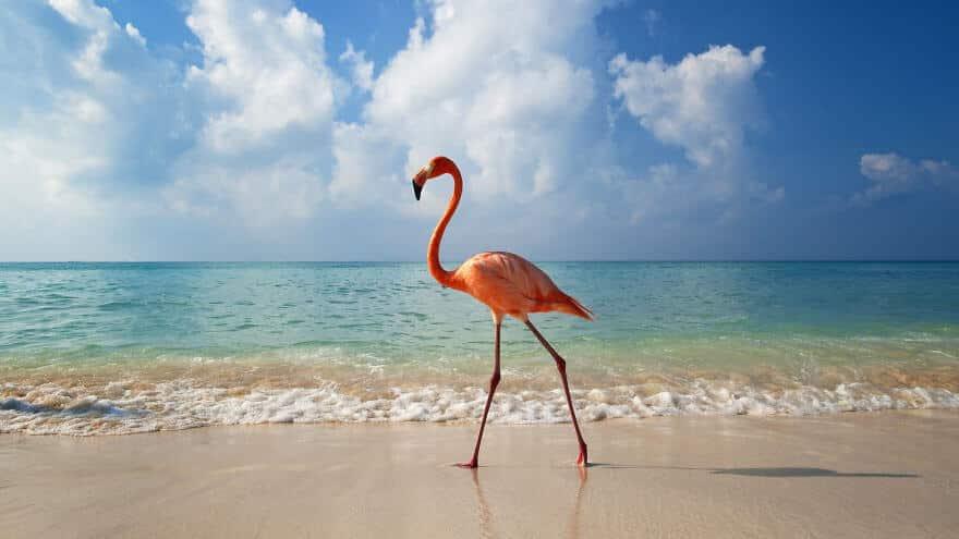 птица розовый фламинго, фото 15