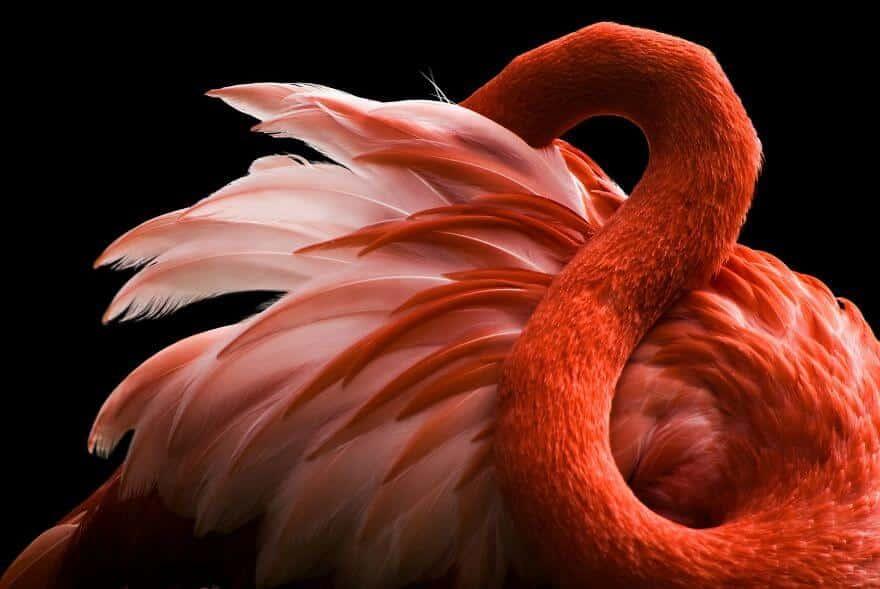 птица розовый фламинго, фото 16