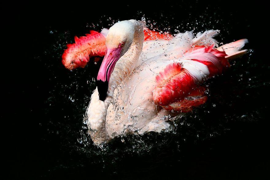 птица розовый фламинго, фото 19