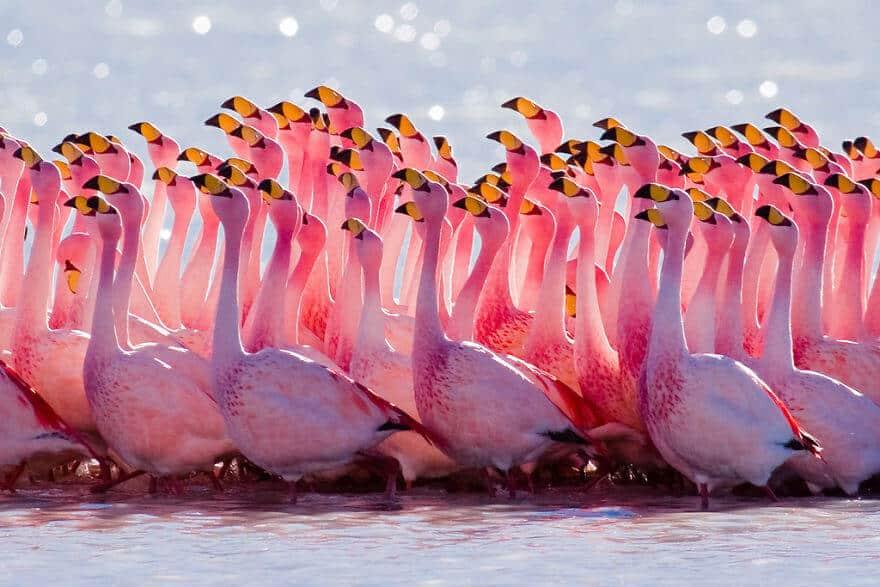 птица розовый фламинго, фото 2