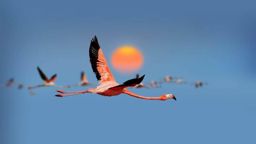 птица розовый фламинго, фото 20