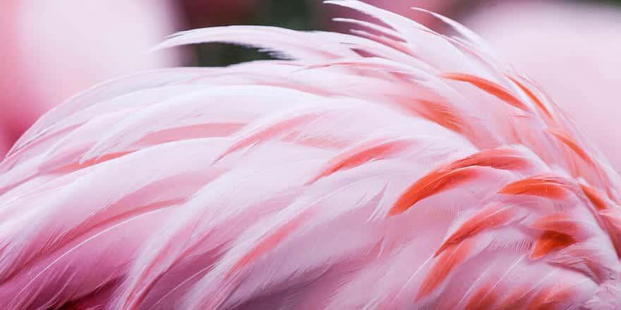 птица розовый фламинго, фото 21