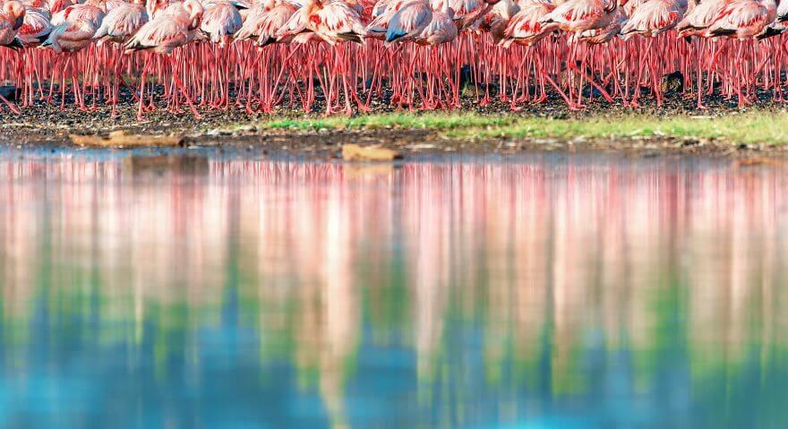 птица розовый фламинго, фото 22