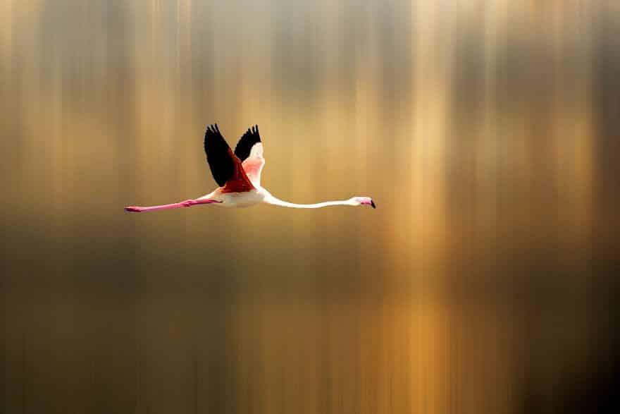 птица розовый фламинго, фото 23