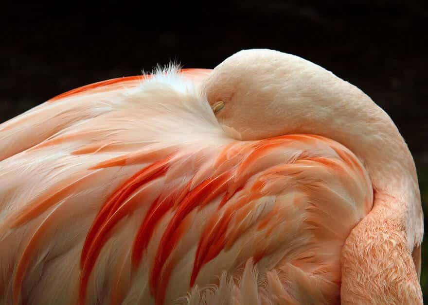 птица розовый фламинго, фото 24
