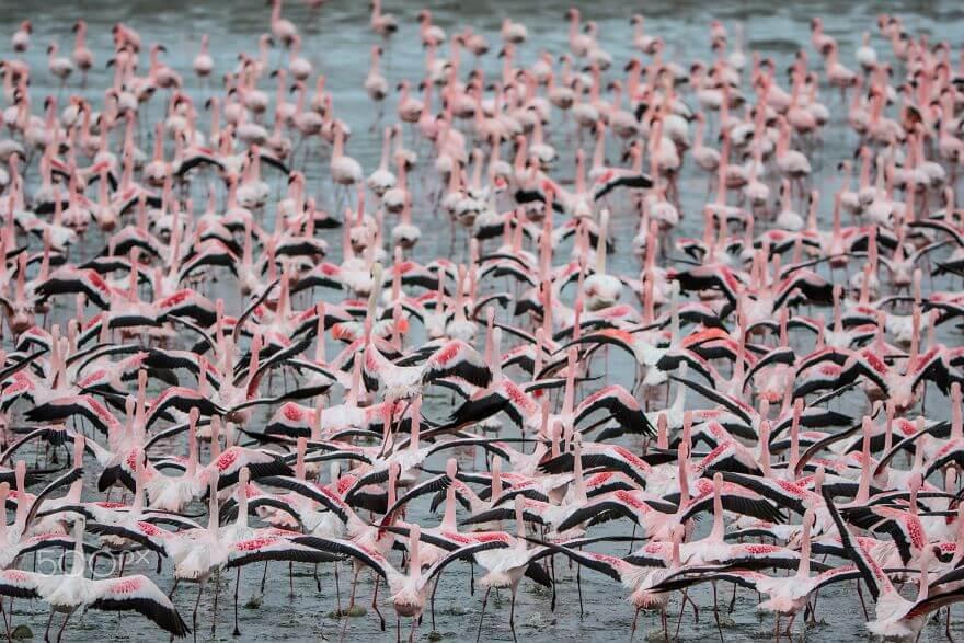 птица розовый фламинго, фото 26
