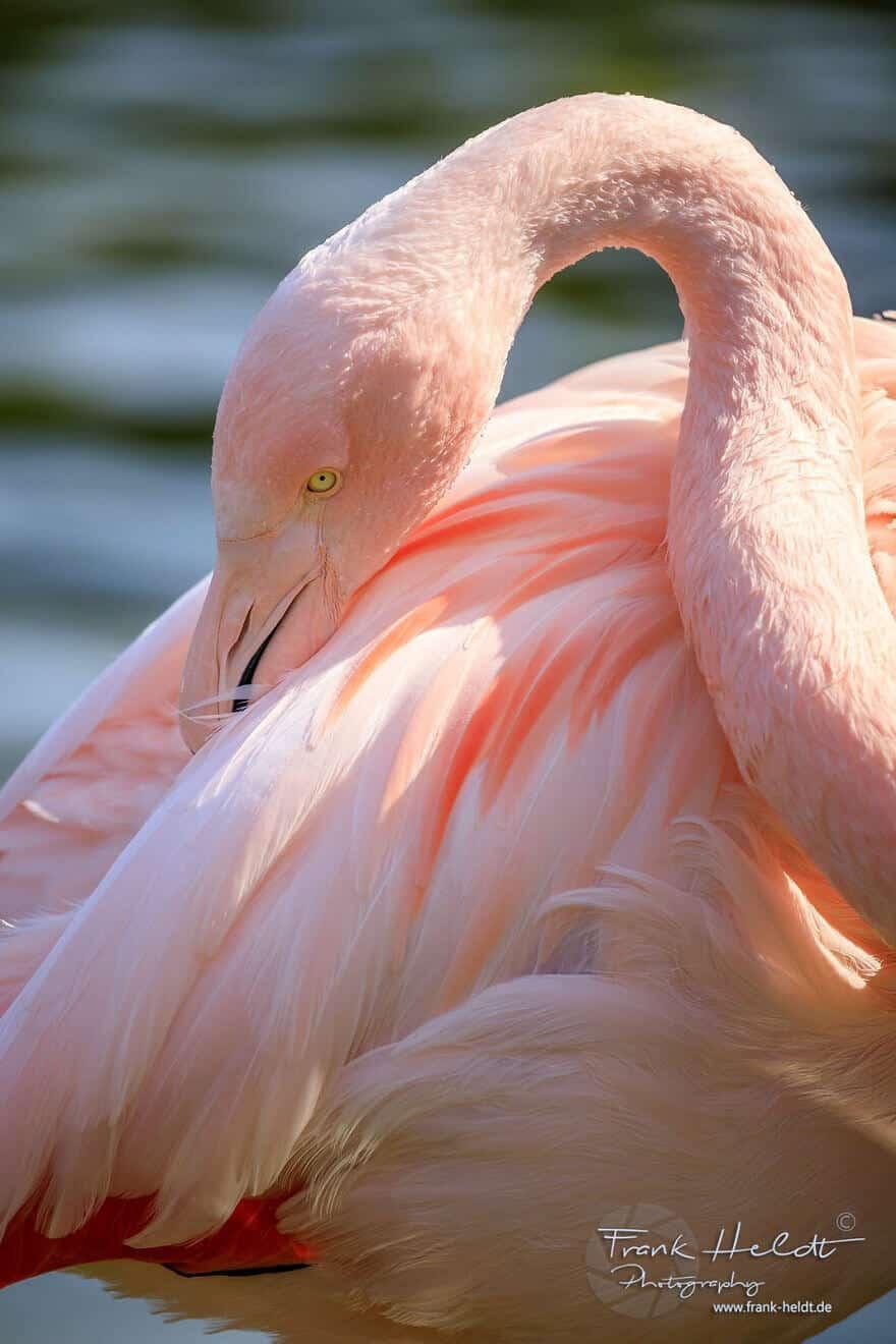 птица розовый фламинго, фото 28