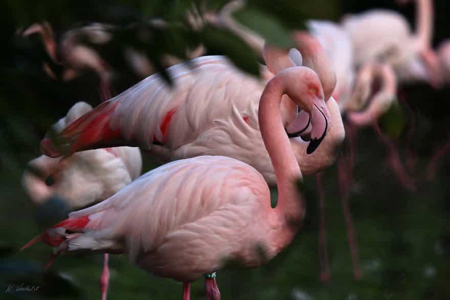 птица розовый фламинго, фото 29