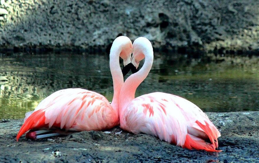птица розовый фламинго, фото 30