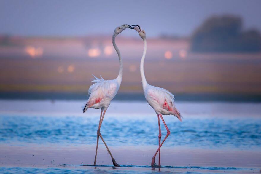 птица розовый фламинго, фото 32