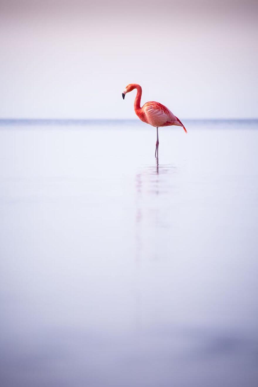 птица розовый фламинго, фото 33