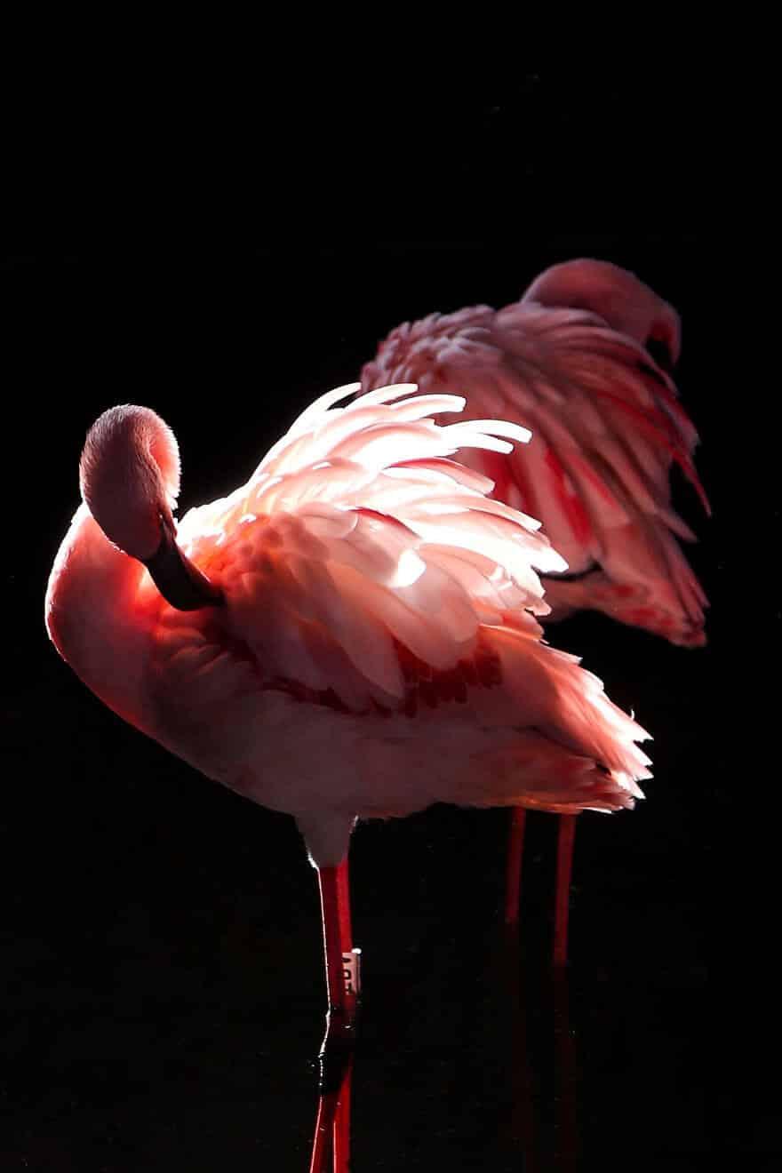 птица розовый фламинго, фото 34