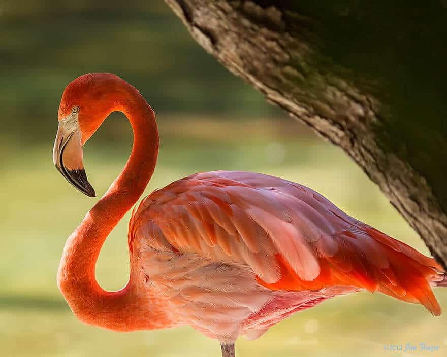 птица розовый фламинго, фото 35
