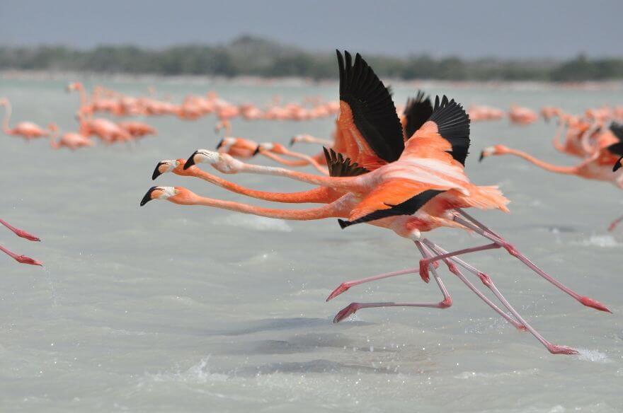 птица розовый фламинго, фото 37