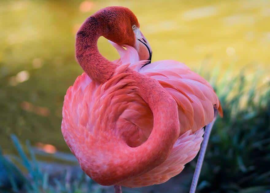 птица розовый фламинго, фото 4