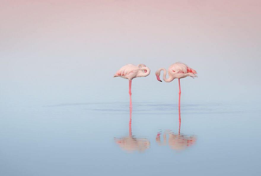 птица розовый фламинго, фото 6