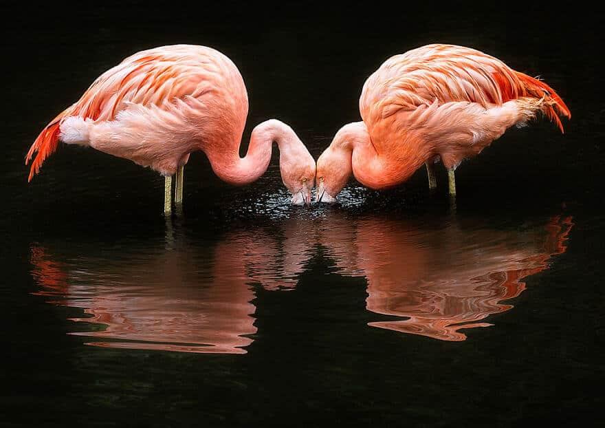 птица розовый фламинго, фото 8