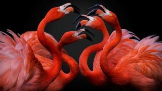 птица розовый фламинго, фото 9