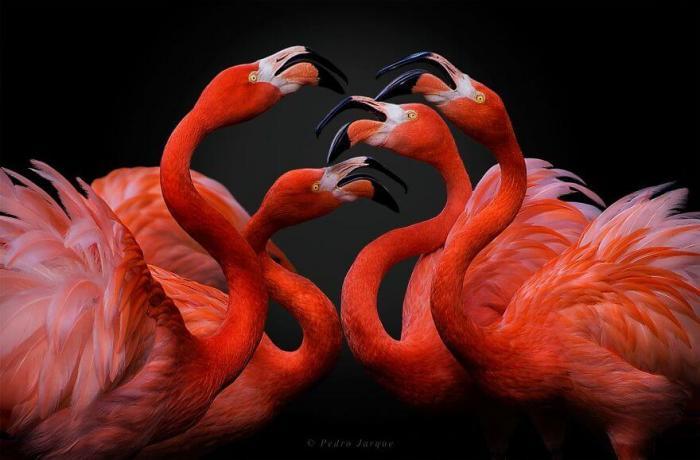 Десятки фото великолепных птиц в честь Дня Розового фламинго