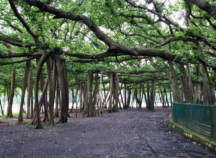 250-летнее Великое баньянское дерево