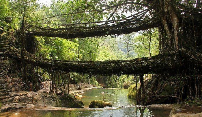 Живые мосты из дерев