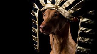 Фараонова собака, фото 10