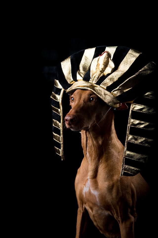 Я нашел способ почтить память моей фараоновой собаки, а радость, которую он передает нам через эти фото, заставит вас улыбнуться!
