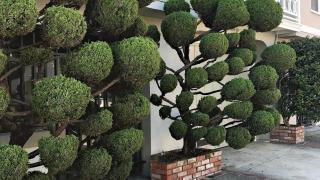 Растения с причудливой формой стрижки, фото 8