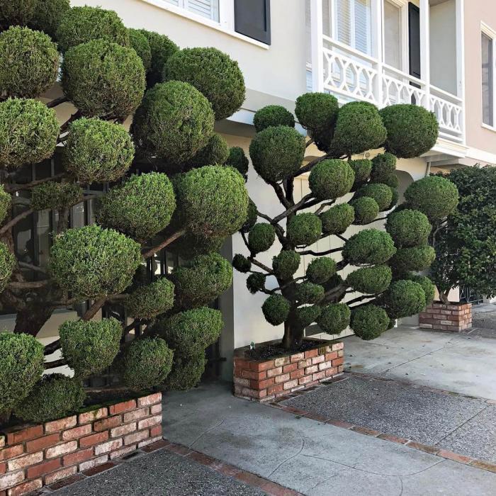 Растения с причудливой формой стрижки в окрестностях Сан-Франциско
