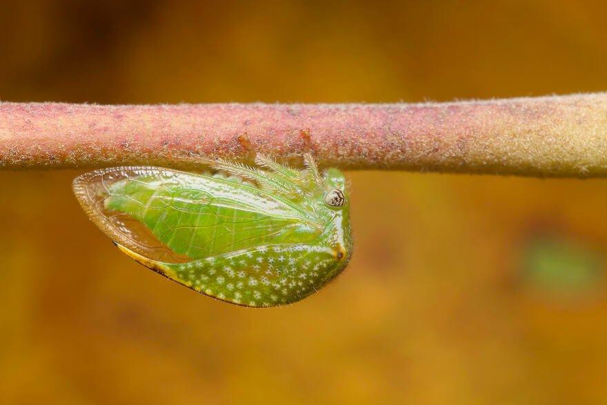 Бизонья горбатка, фотографий насекомых и пауков