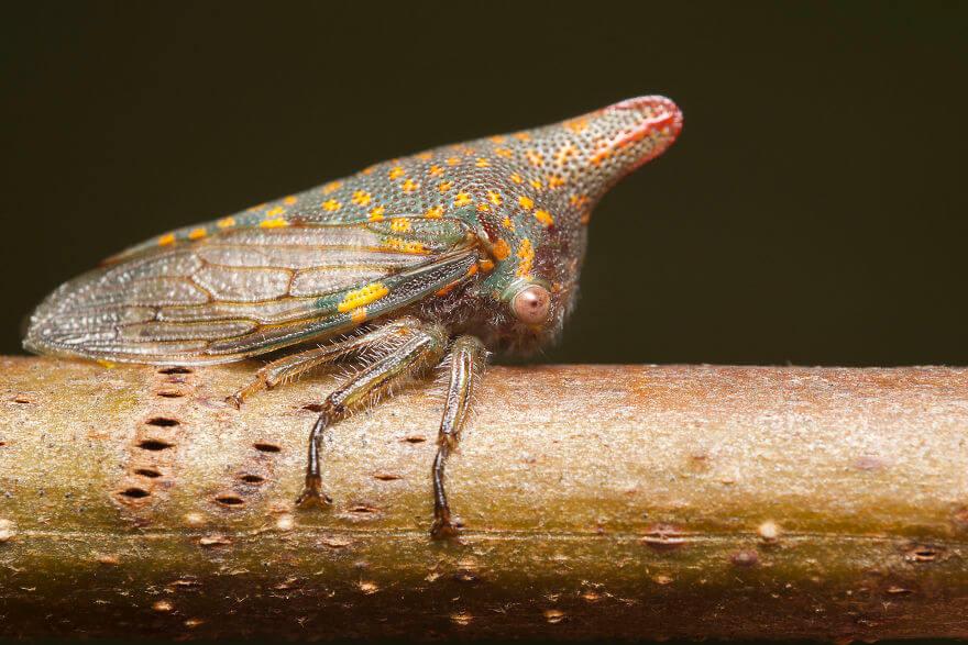 Дубовая горбатка, фотографий насекомых и пауков