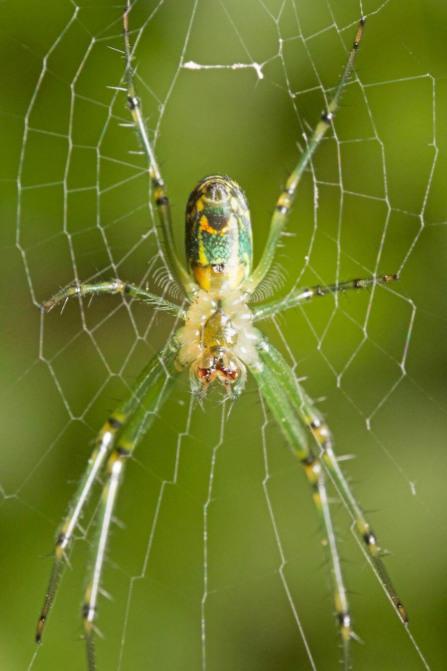Фруктовый паук-крестовик, фотографий насекомых и пауков