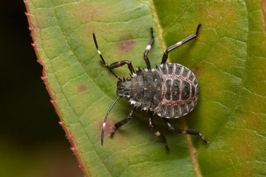 Личинка клопа, фотографий насекомых и пауков